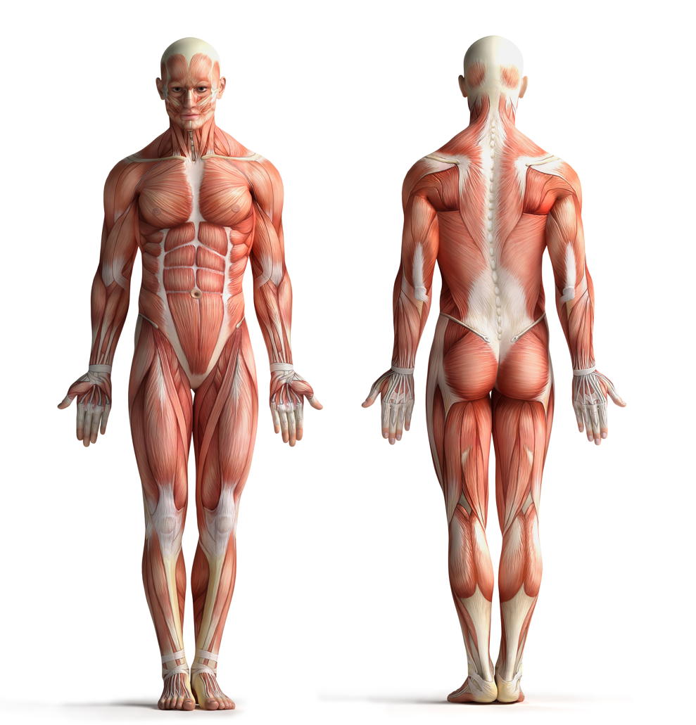 Anatomy And Physiology Itec Level 3 Online Course Massage
